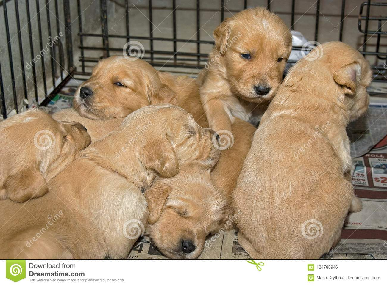 Golden Retriever Puppies In Cage Stock Photo Image Of Pedigree Furry 124786946