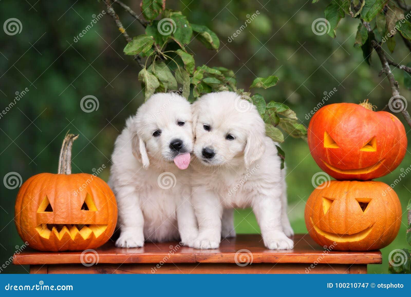 download golden retriever puppies with halloween pumpkins stock image image of pumpkins retriever