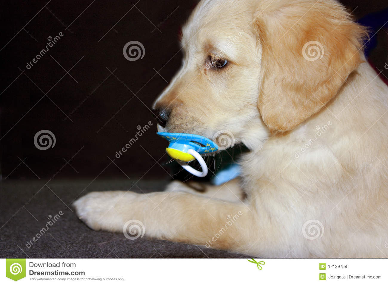Golden Retriever Puppy 6 Weeks Old Royalty Free Stock