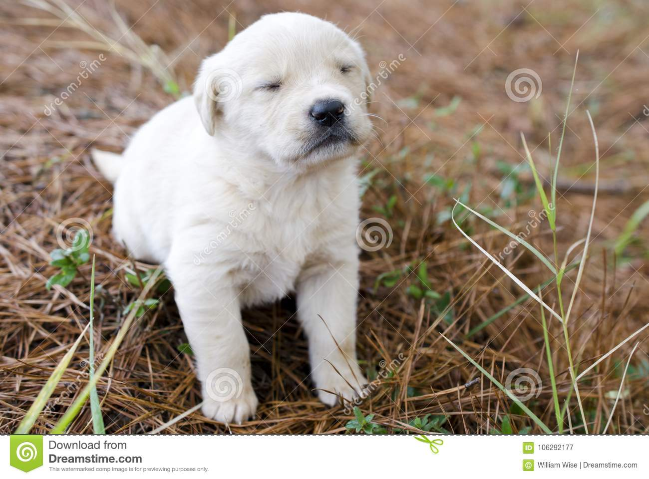 Golden Retriever Puppy Dog With Eyes Closed Blinking Stock Image