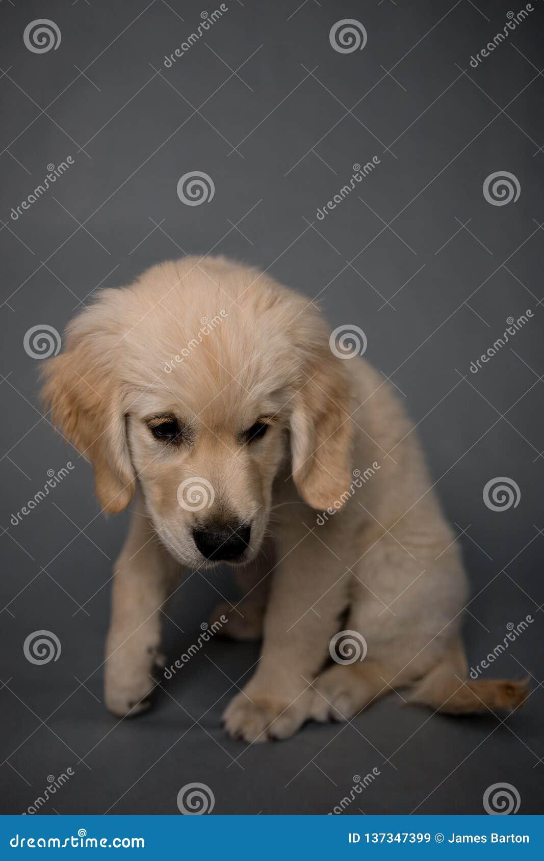 Golden Retriever Puppy Dog on grey background