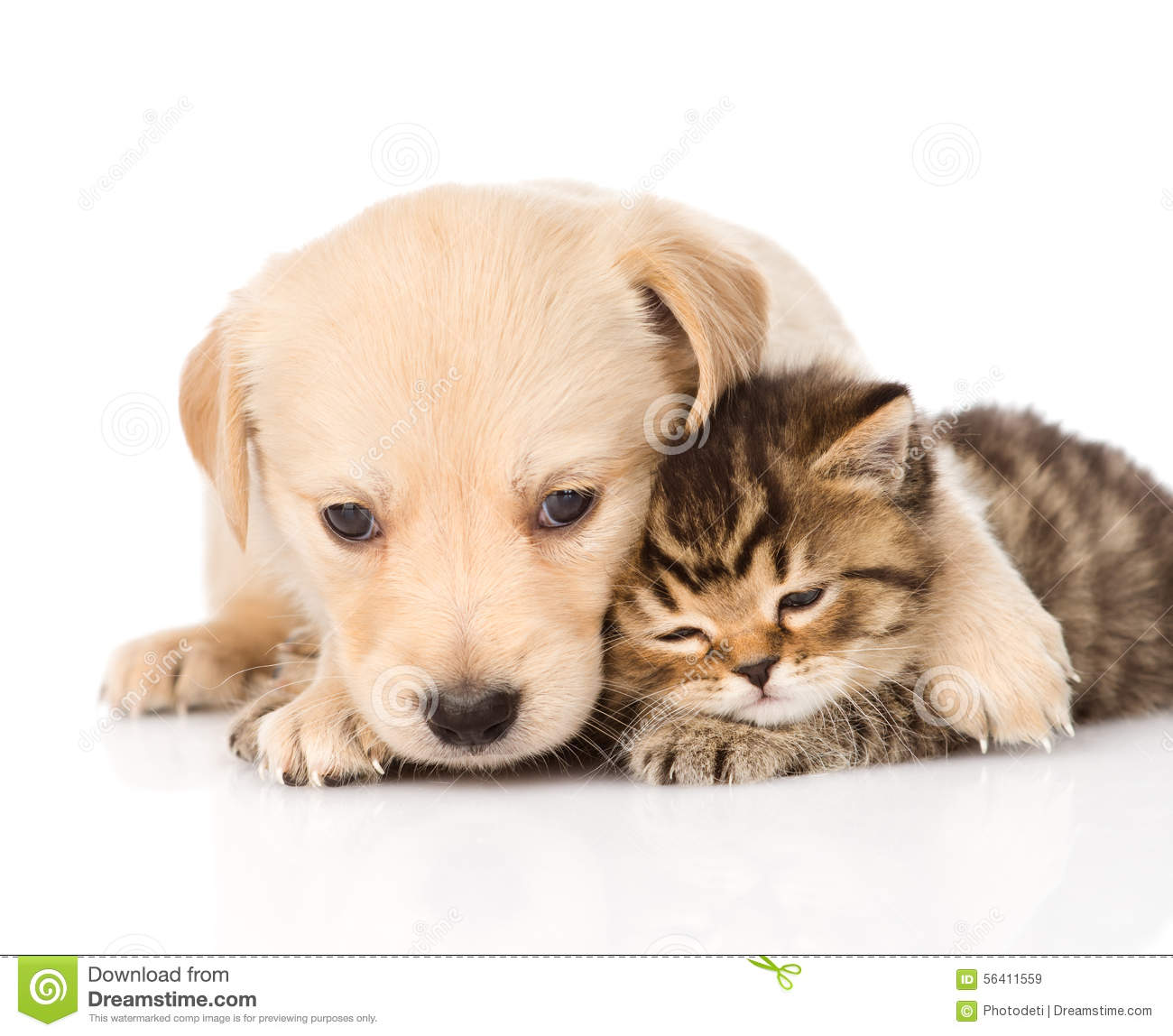 Golden Retriever Puppy Dog Hugging Scottish Cat. Isolated