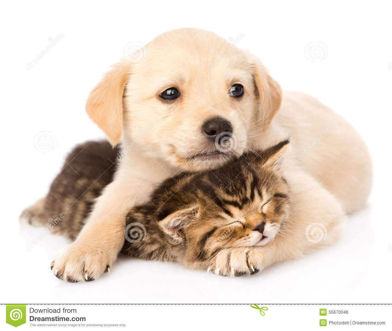 Golden retriever puppy dog hugging sleeping british cat. isolated