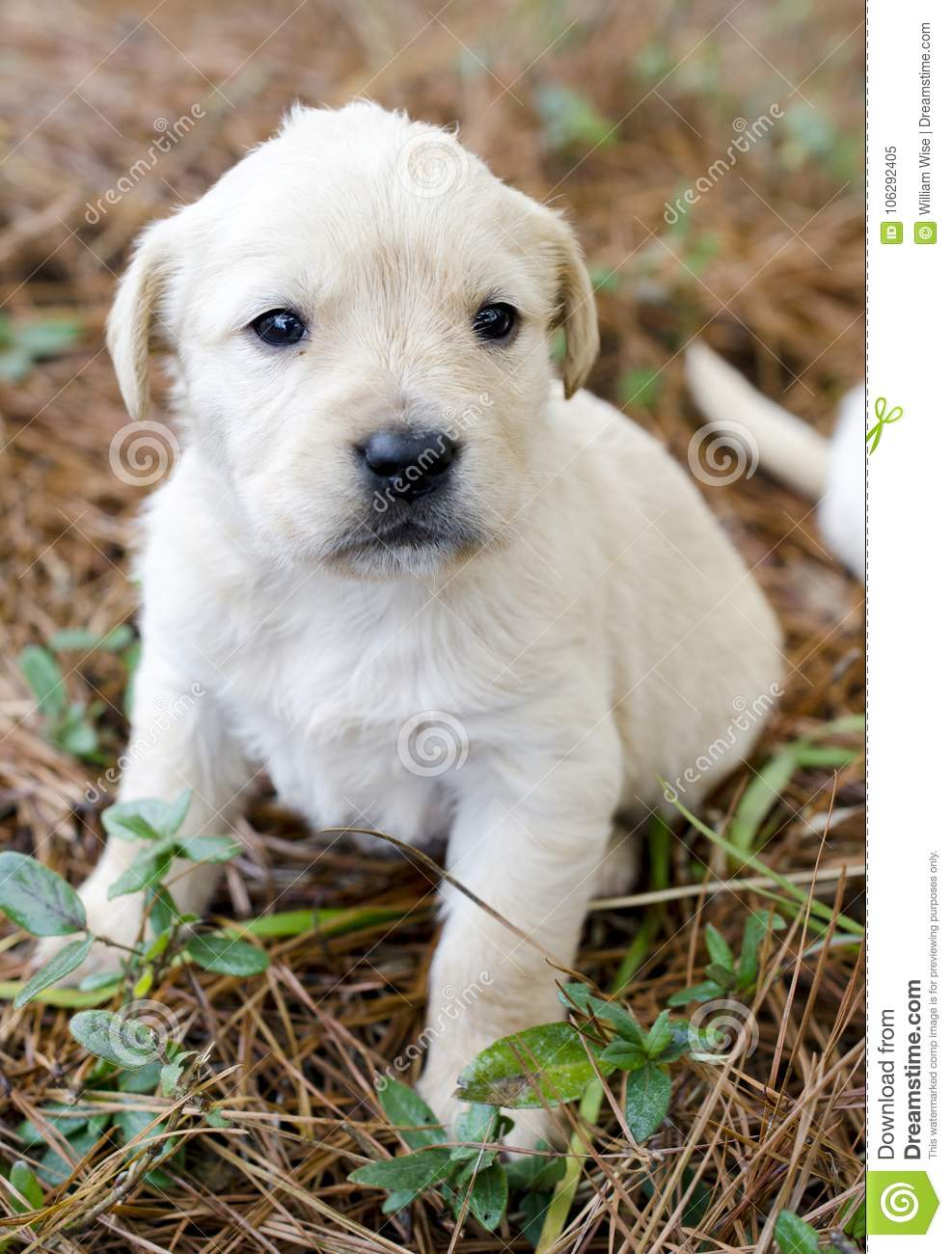 Golden Retriever Puppy Dog Runt Of The Litter Female Stock Image Image Of Mixed Cute 106292405