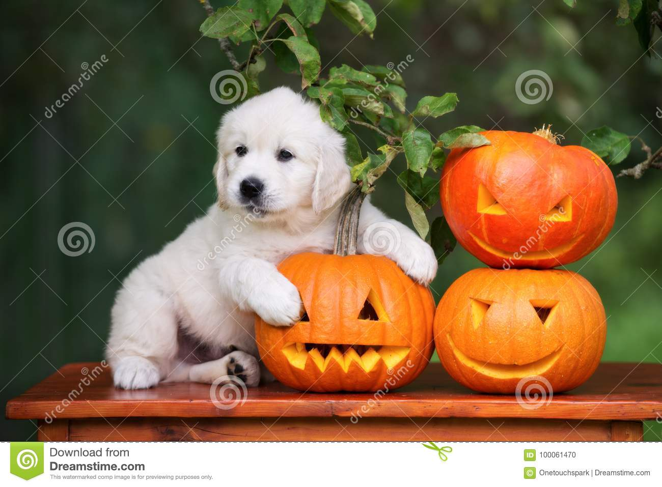 download golden retriever puppy with halloween pumpkins stock photo image of canine autumn