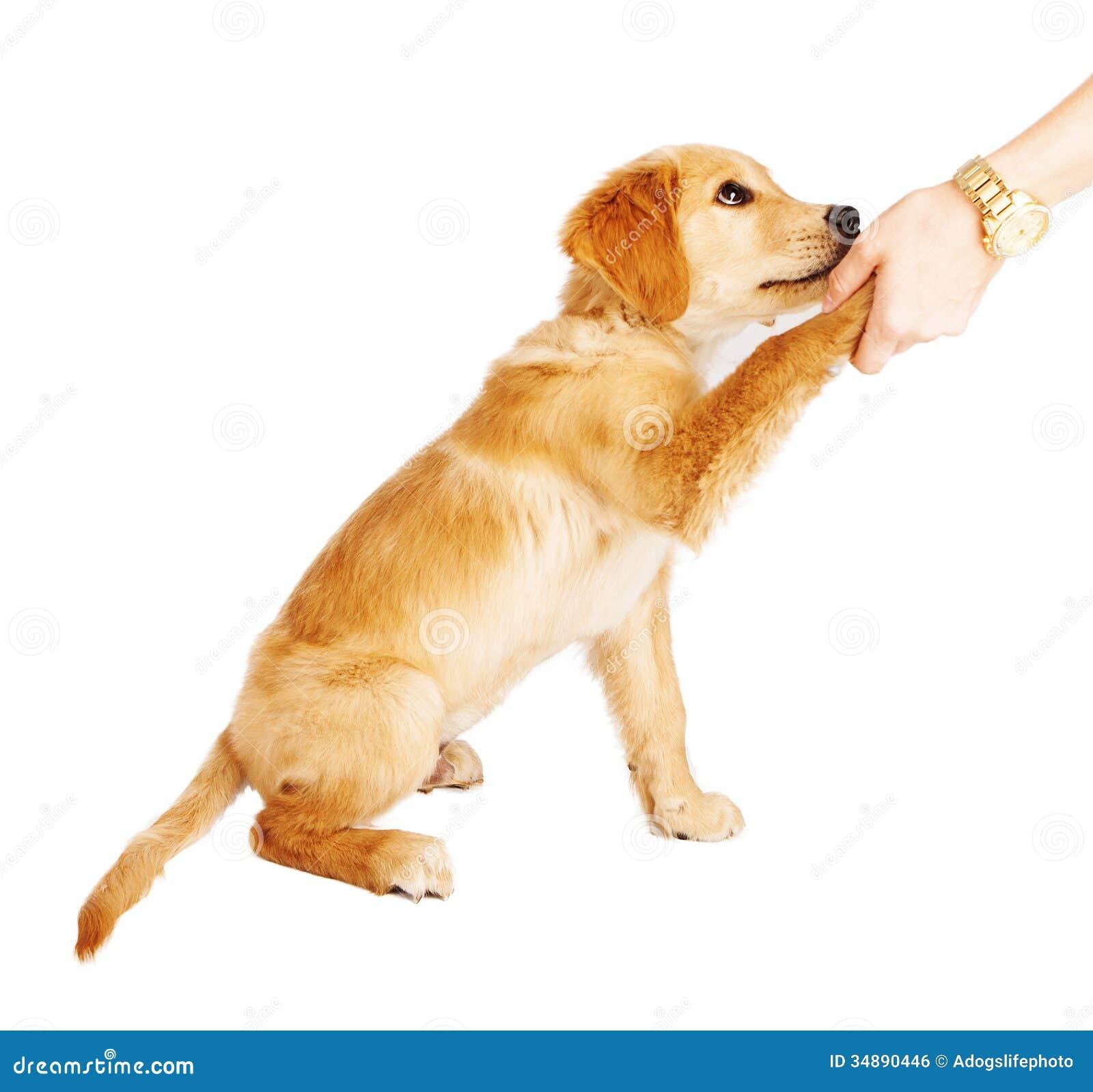 golden retriever puppy handshake stock photo image 34890446 paw print vector free paw print vector free