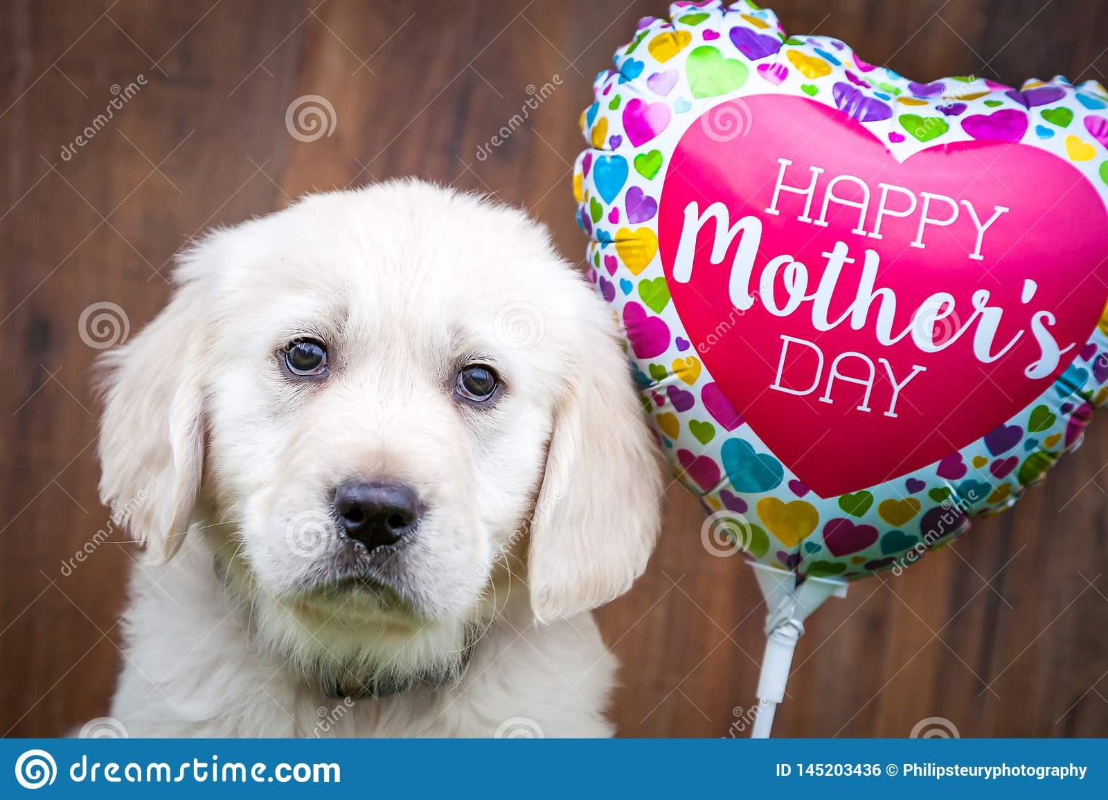 Golden Retriever Puppy On Mother`s Day