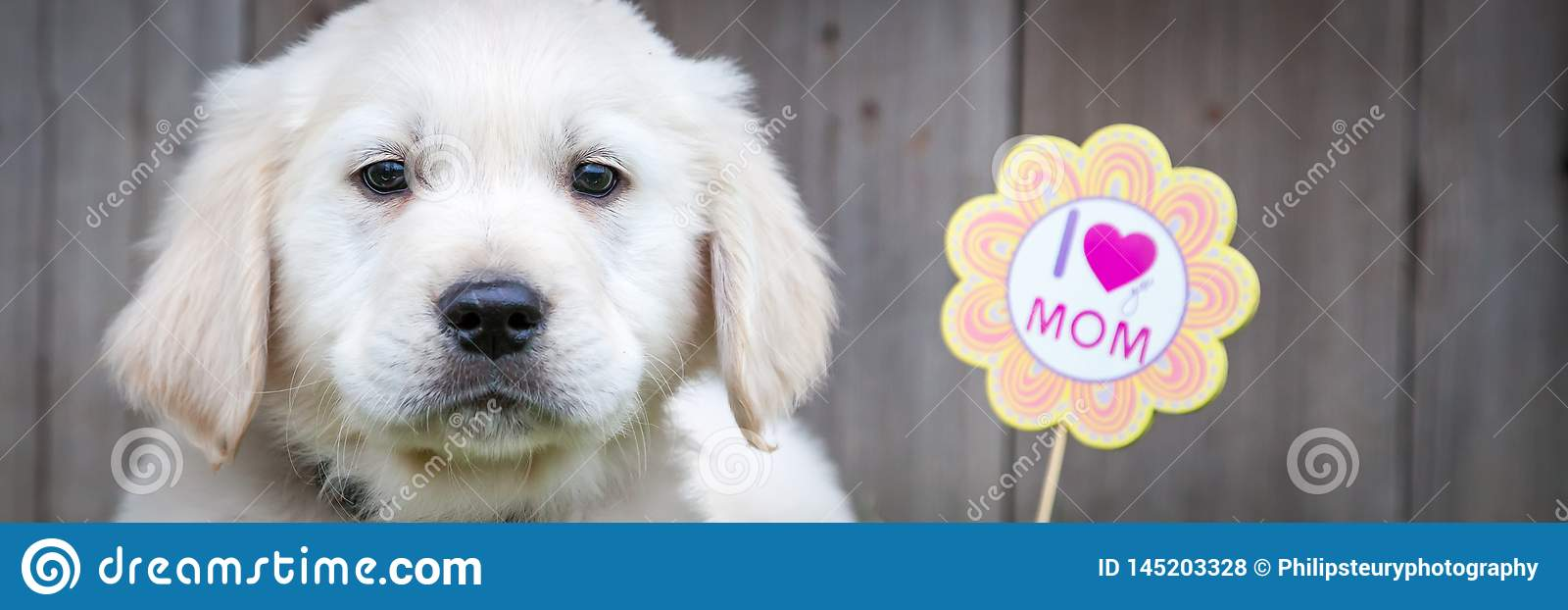 Golden Retriever Puppy On Mothers Day