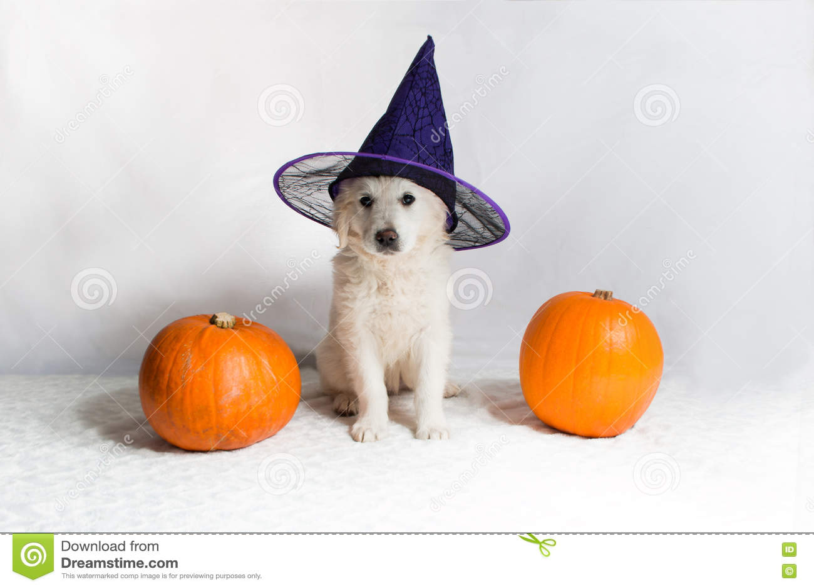 Golden Retriever Puppy With Pumpkins Stock Photo Image Of Pumpkins