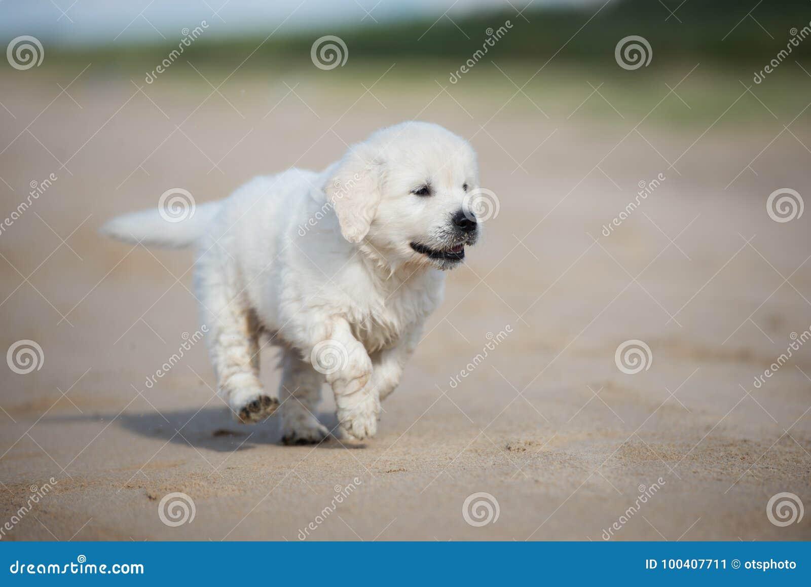 Golden Retriever Puppy Running On A Beach Stock Image Image Of