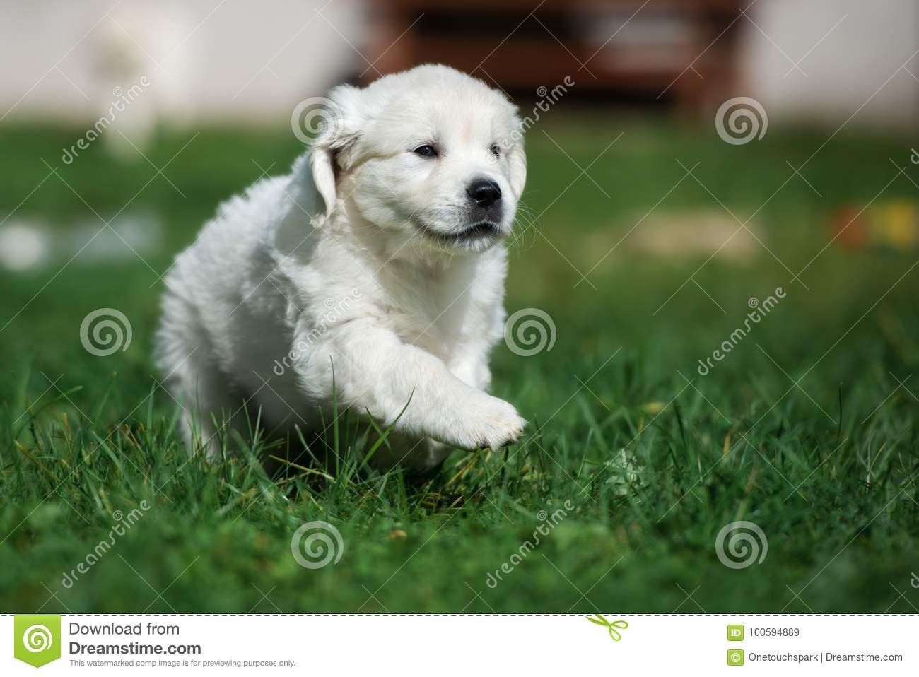 Golden Retriever Puppy Running Outdoors Stock Image Image Of