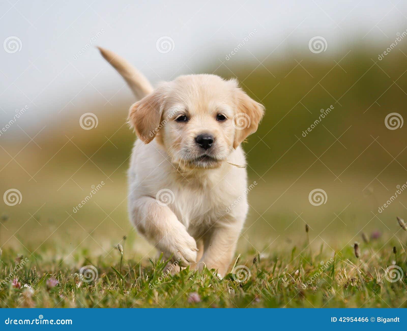 Golden Retriever Puppy Running Towards Camera Stock Photo Image Of