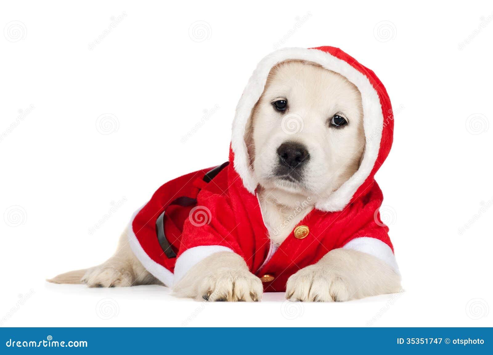 Golden Retriever Puppy In A Santa Costume Stock Image Image Of Retriever Labrador 35351747