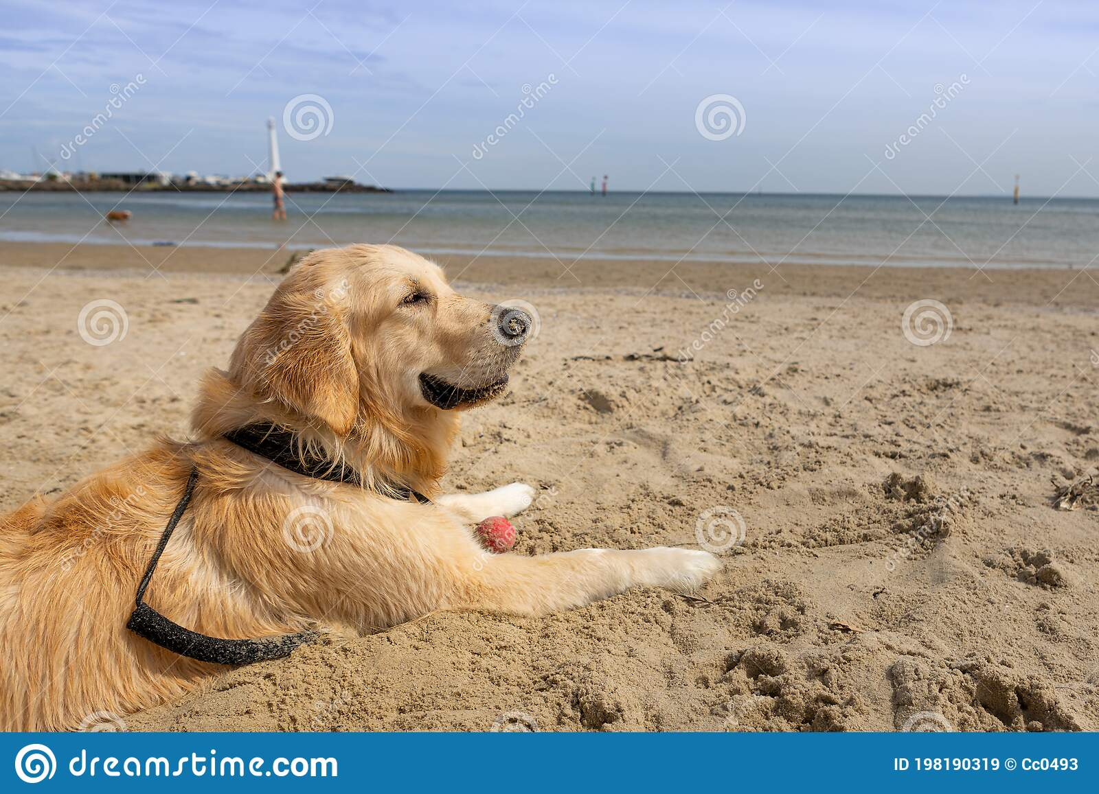 A Golden Retriever Puppy Smiling While Enjoying A Sunny Day At The Beach With A Light House In The Background Stock Image Image Of Healthy Domestic 198190319
