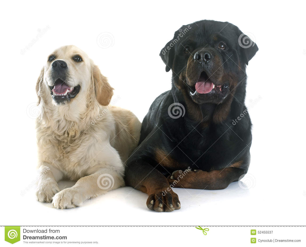 Golden Retriever And Rottweiler Stock Image Image Of Labrador