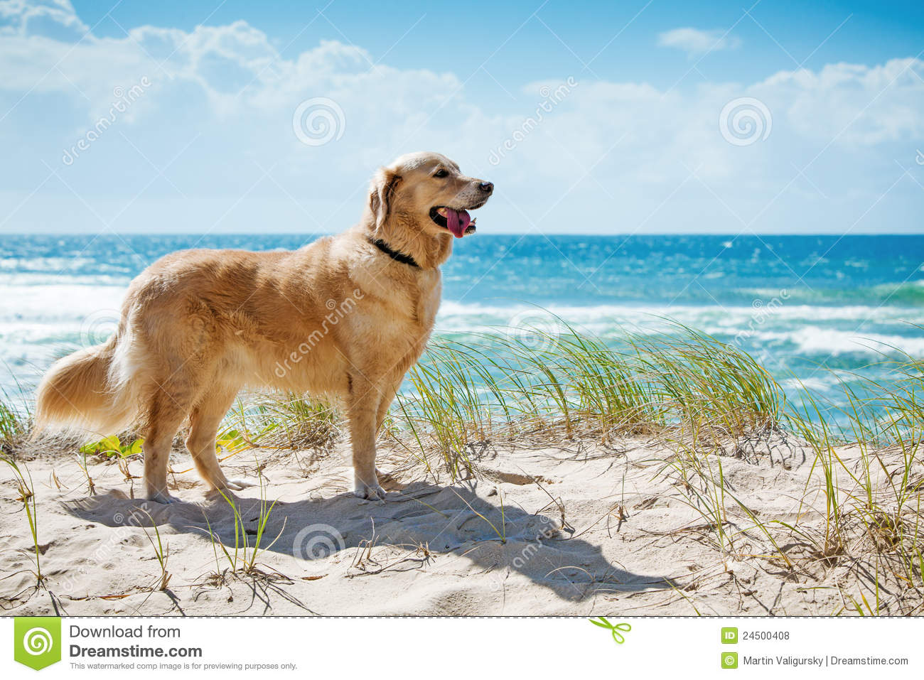 Royalty Free Stock Photos: Golden retriever on a sandy dune ...: www.dreamstime.com/royalty-free-stock-photos-golden-retriever-sandy...