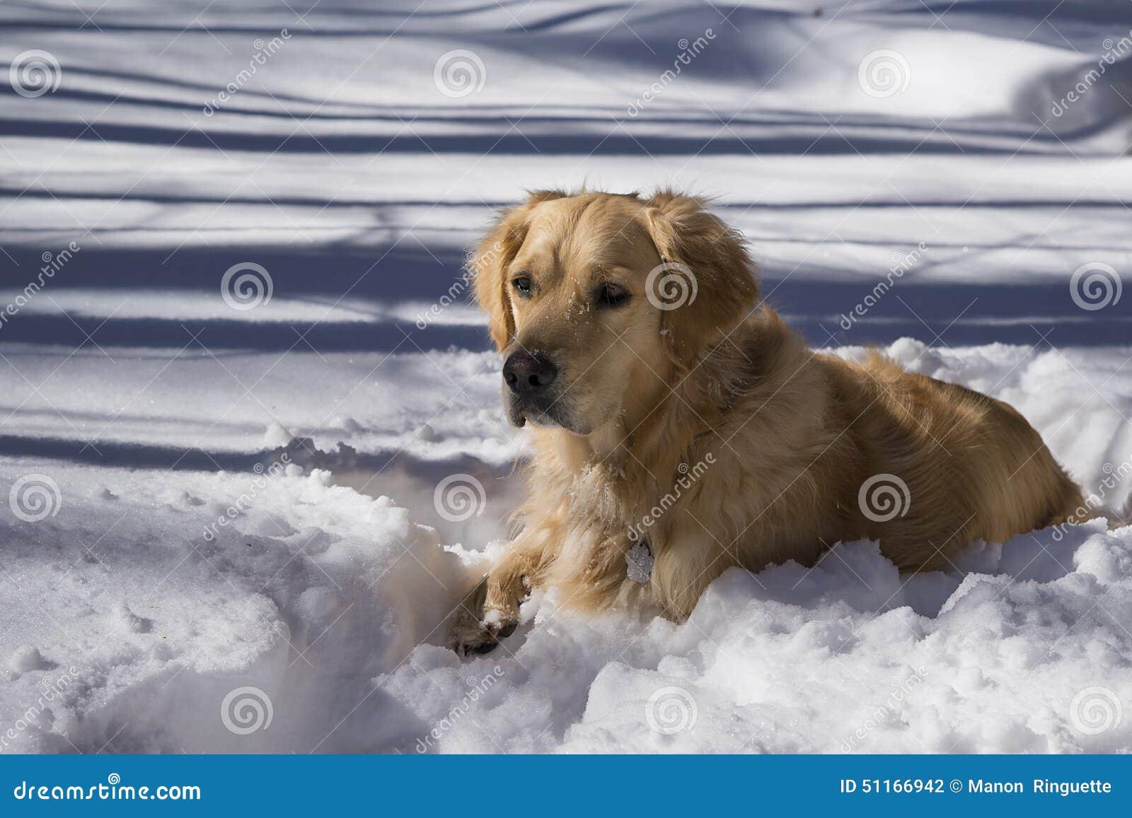 Golden retriever in sneeuw