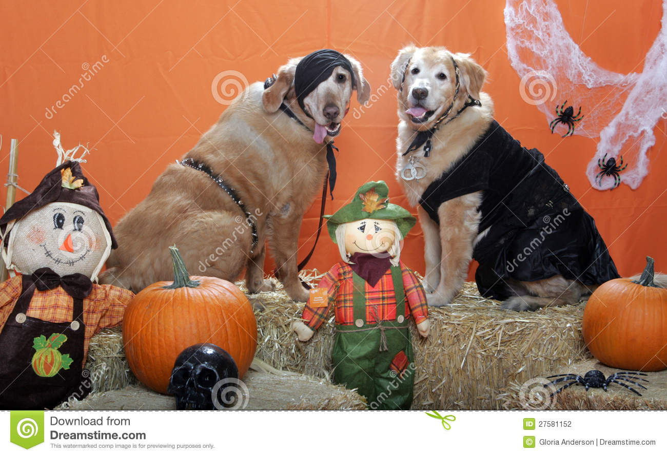 download golden retrievers dressed up for halloween stock photo image of dressed loving