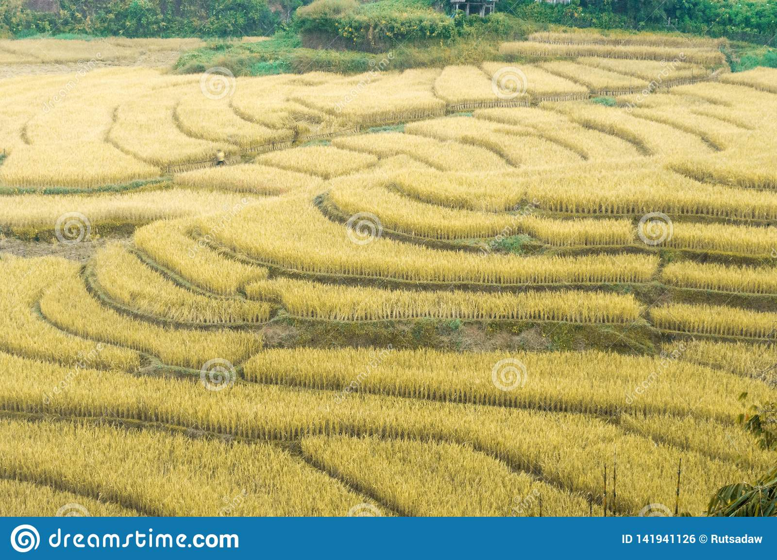 Beautiful golden yellow rice fields