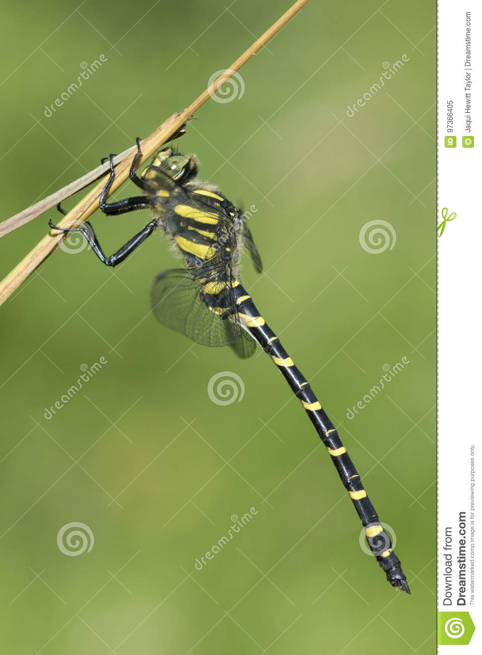 A golden ringed dragonfly on a stalk