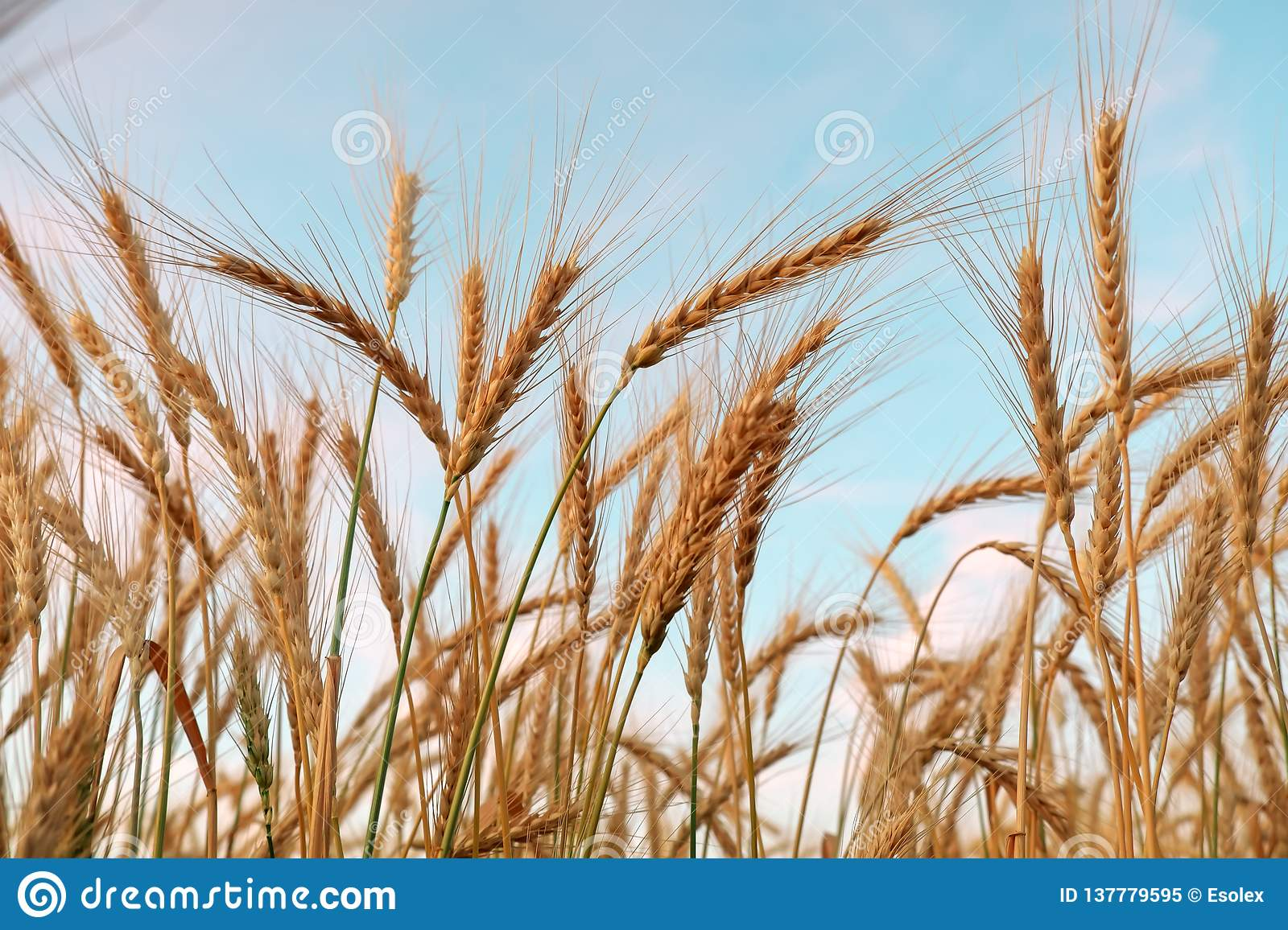 Golden ripe wheat field, sunny day, agricultural landscape, growing plant, cultivate crop