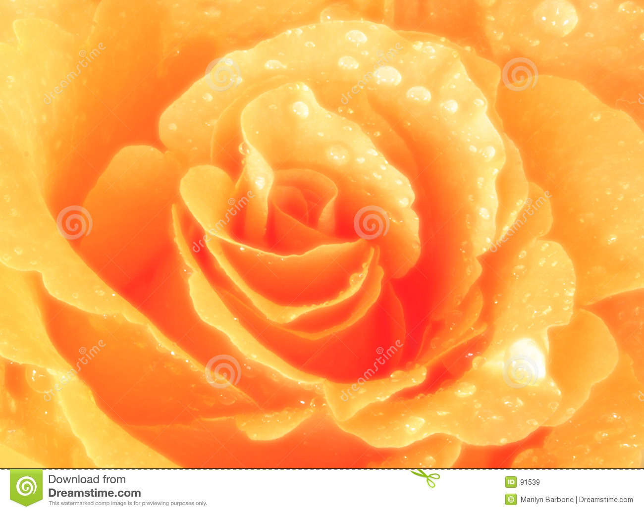Close up of a peach colored rose with water droplets.