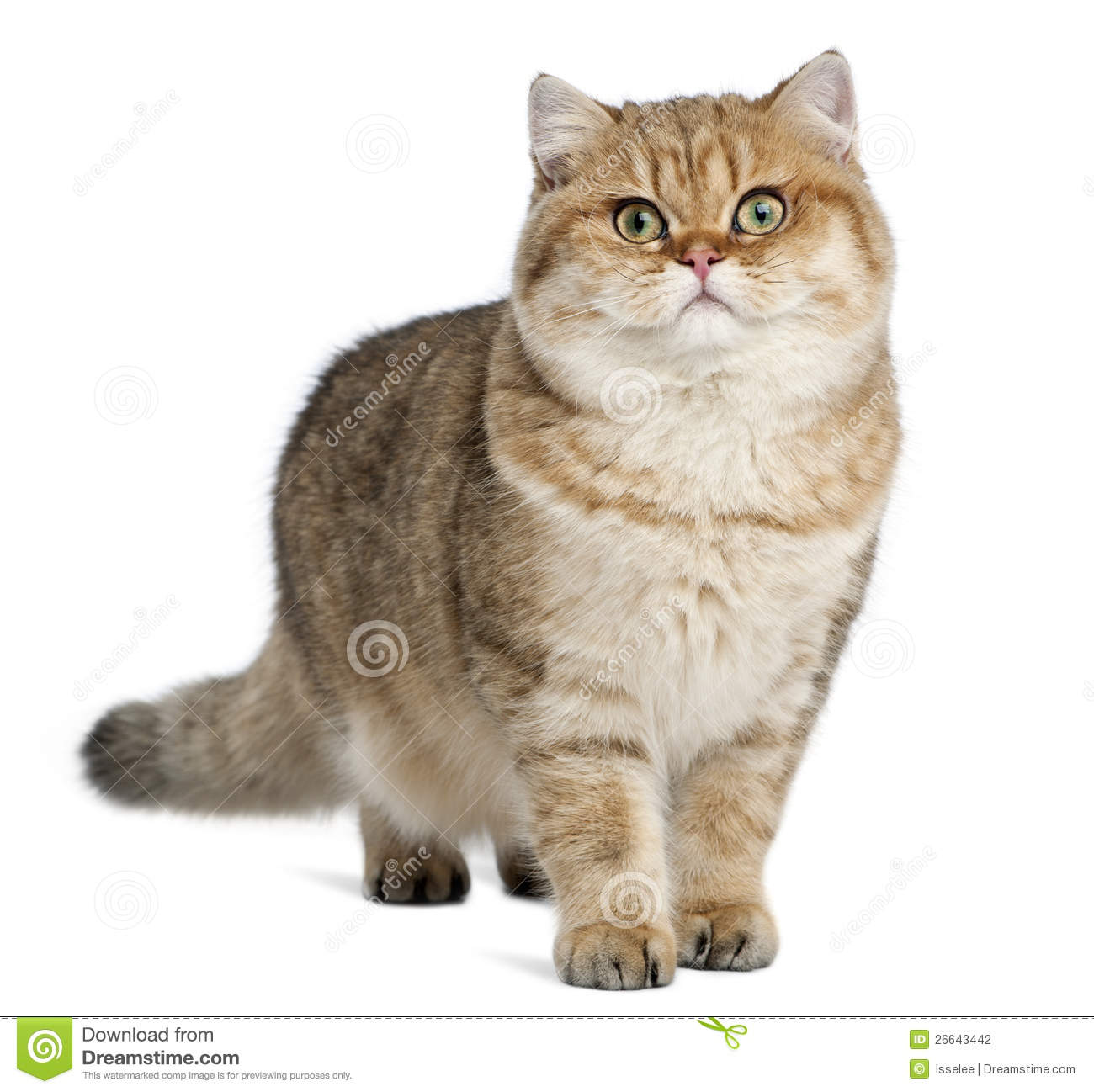 Golden Shaded British Shorthair, 7 Months Old Stock Photo