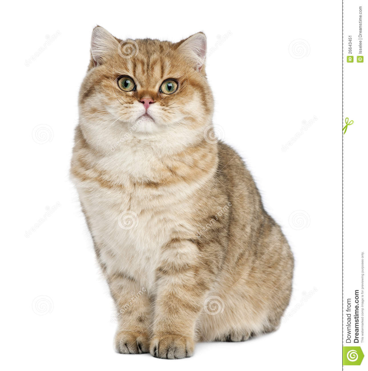 Golden Shaded British Shorthair, 7 Months Old Stock Image - Image of