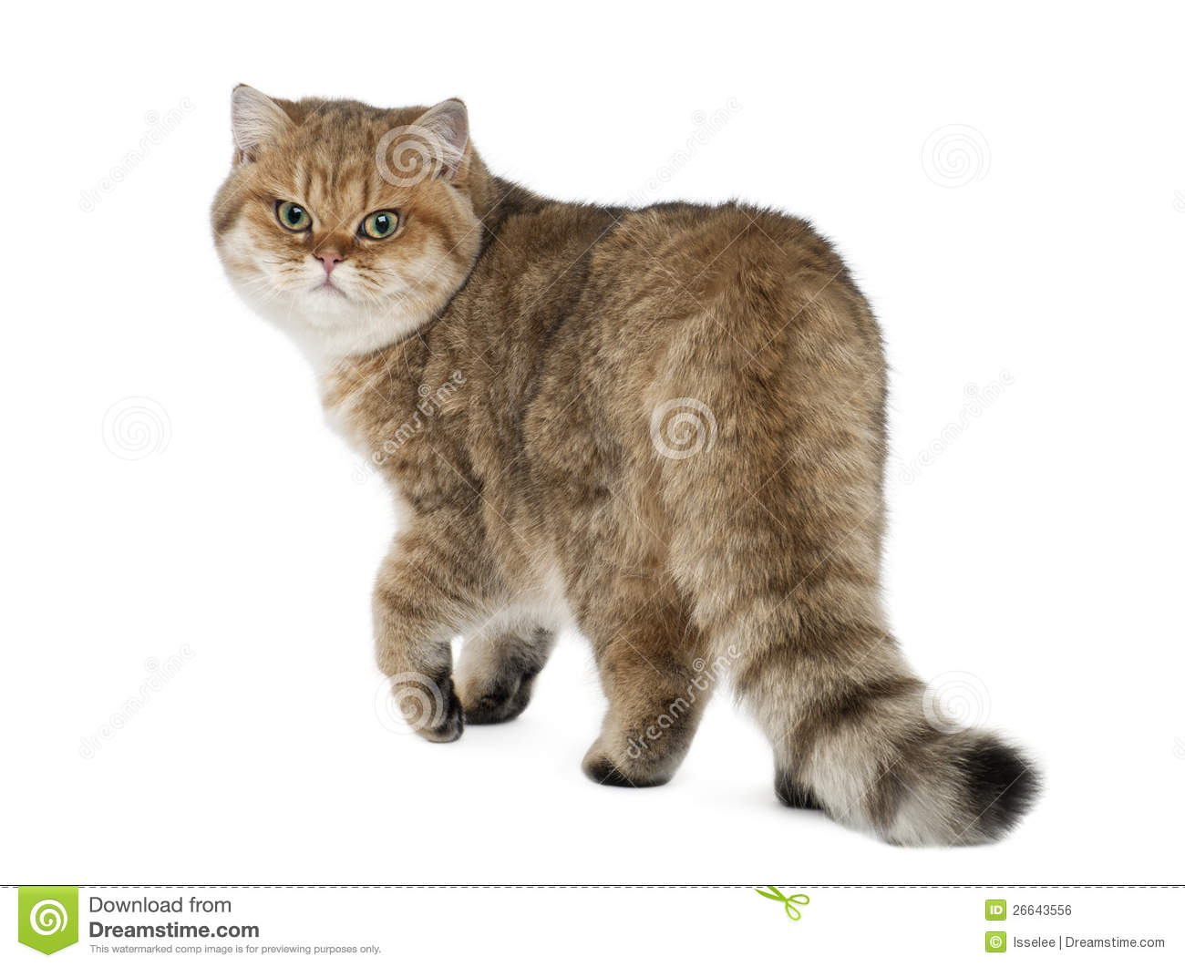 Golden Shaded British Shorthair, 7 Months Old Stock Photo - Image of