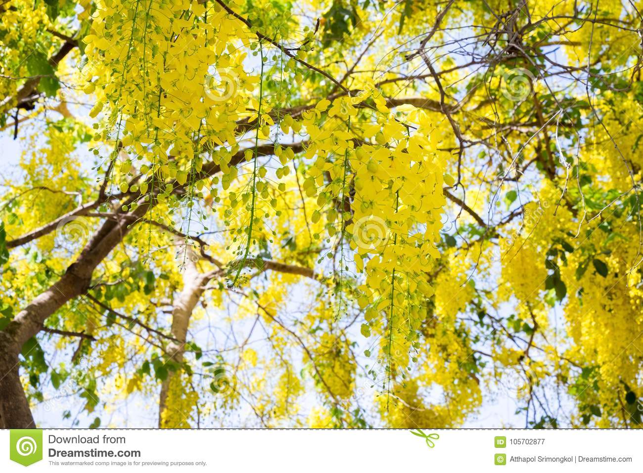 Golden Shower flowers are blooming in full of trees