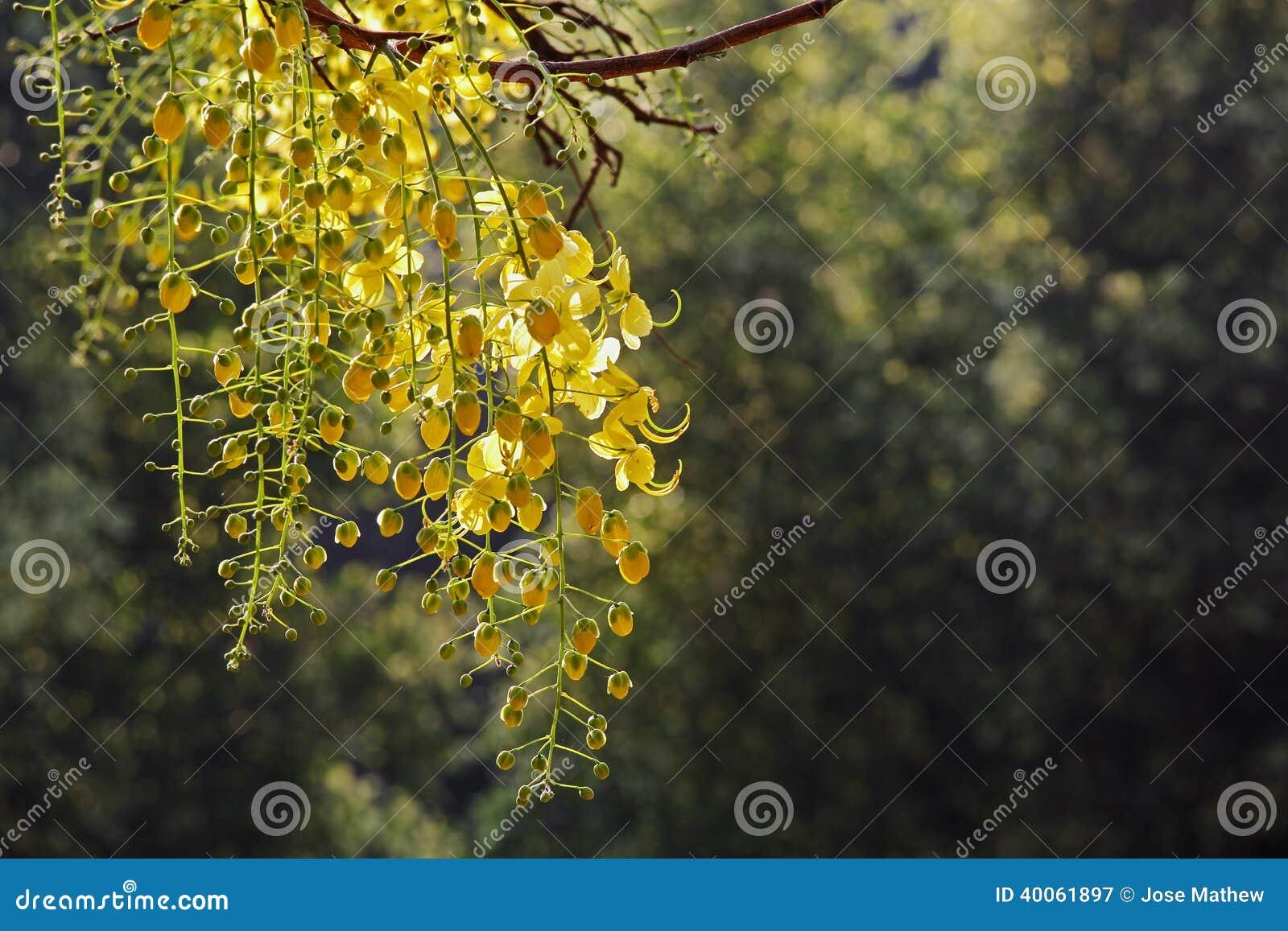 Golden shower flowers