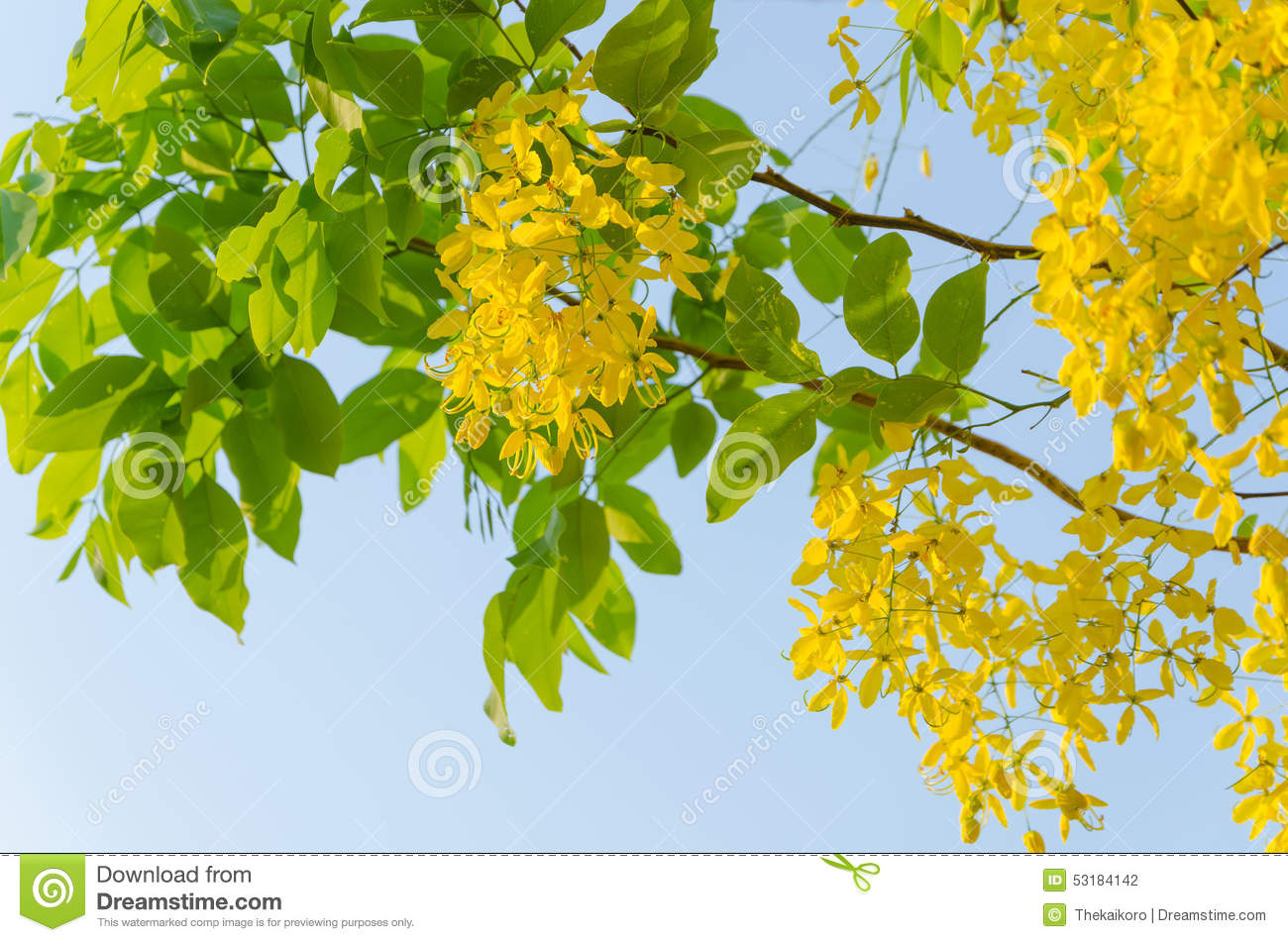 Golden shower tree beautiful yellow flower stock photo image of golden shower tree beautiful yellow flower nature abstract mightylinksfo