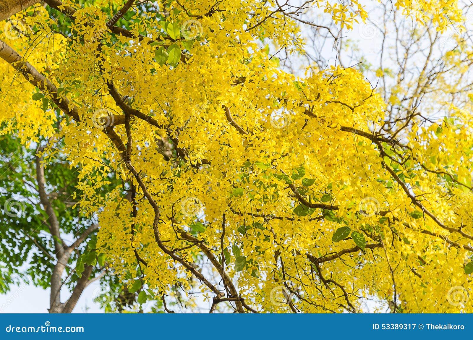 Golden Shower Tree Beautiful Yellow Flower Ratchaphruek Stock Image