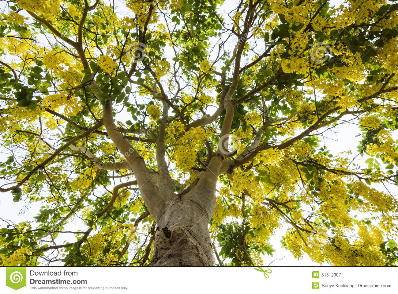 An image of Golden shower tree which full with flowers