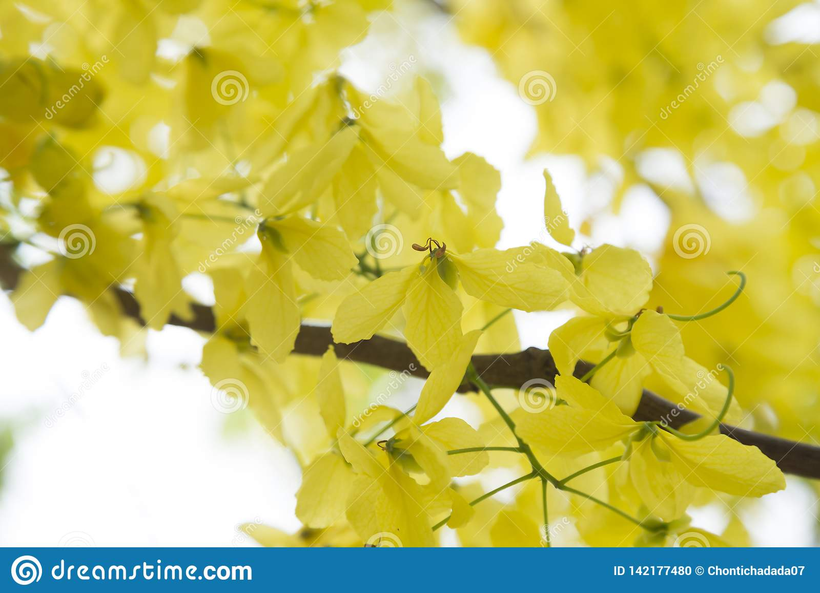 Golden Shower TreeCassia fistula is beauty yellow flower  in summer