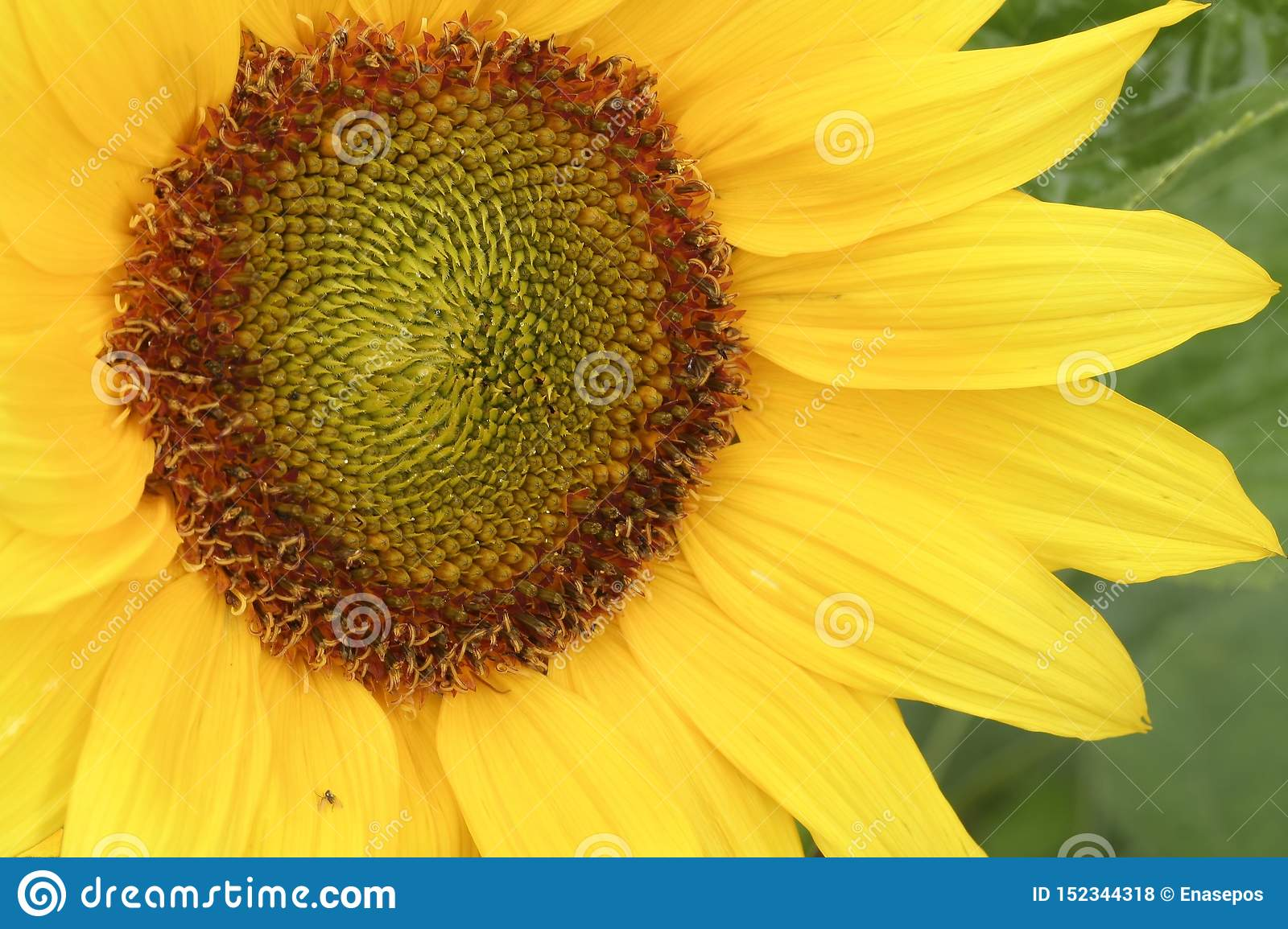 Golden sunflower with small insect