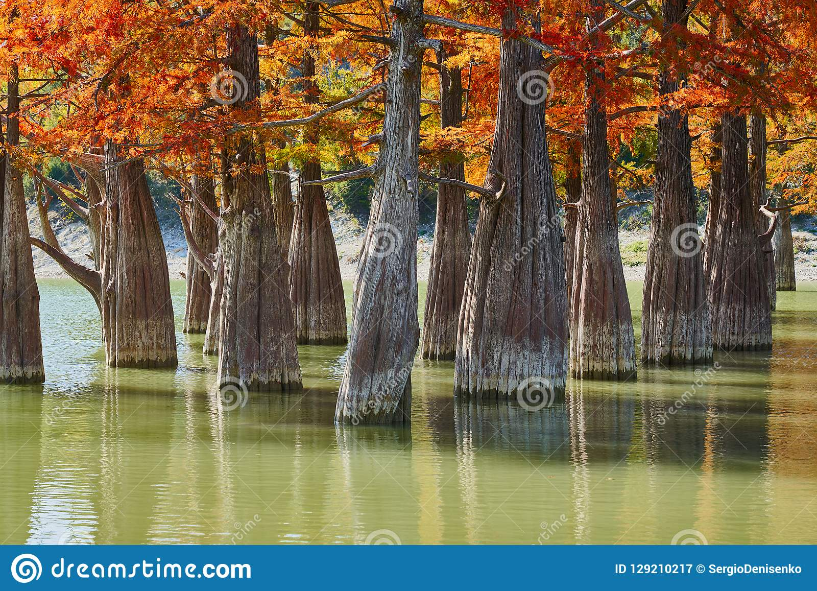 Golden Taxodium distichum stand majestically in a gorgeous lake against the backdrop of the Caucasus Mountains in the fall. Autumn