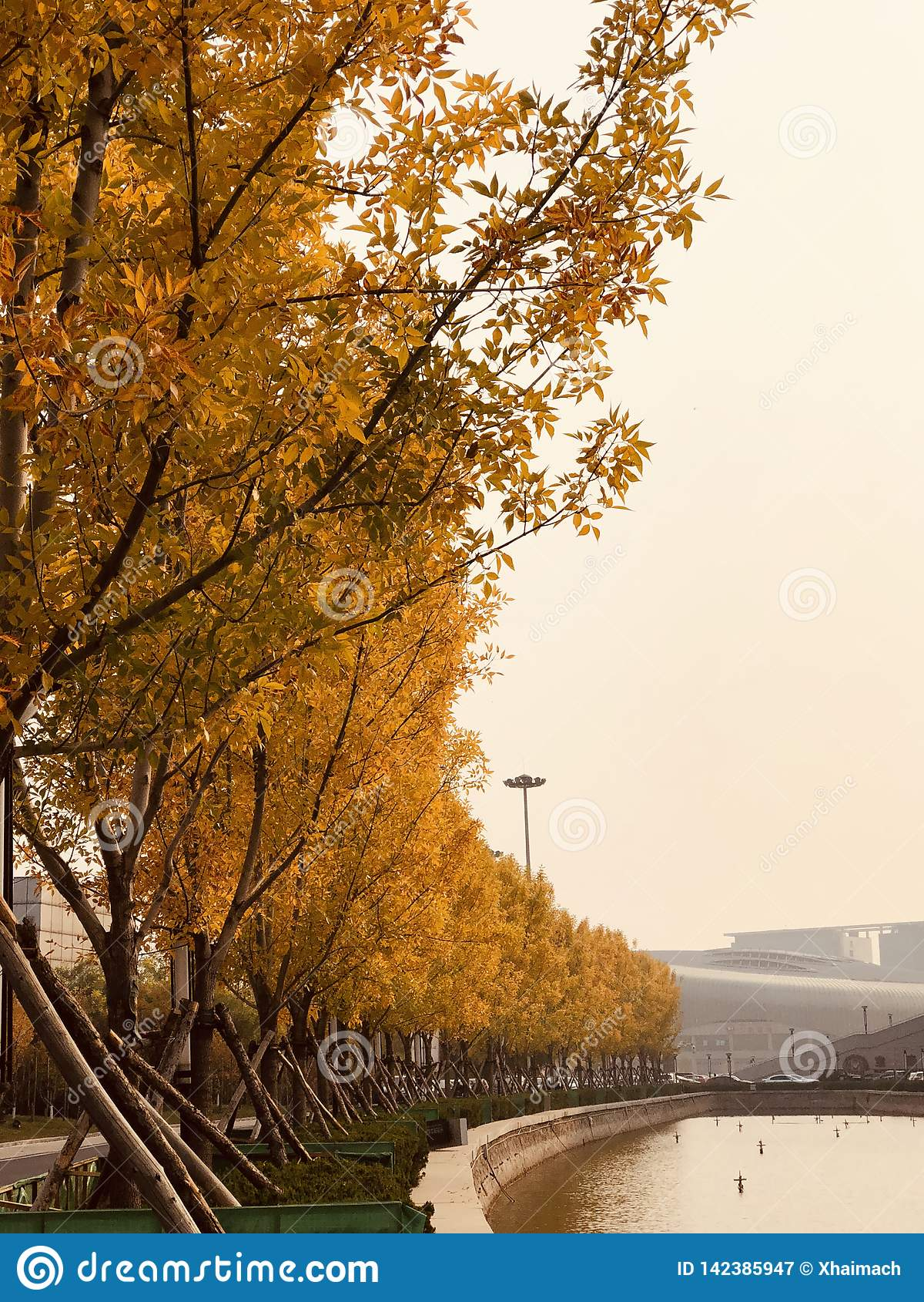 Golden Tree  Autumn in park