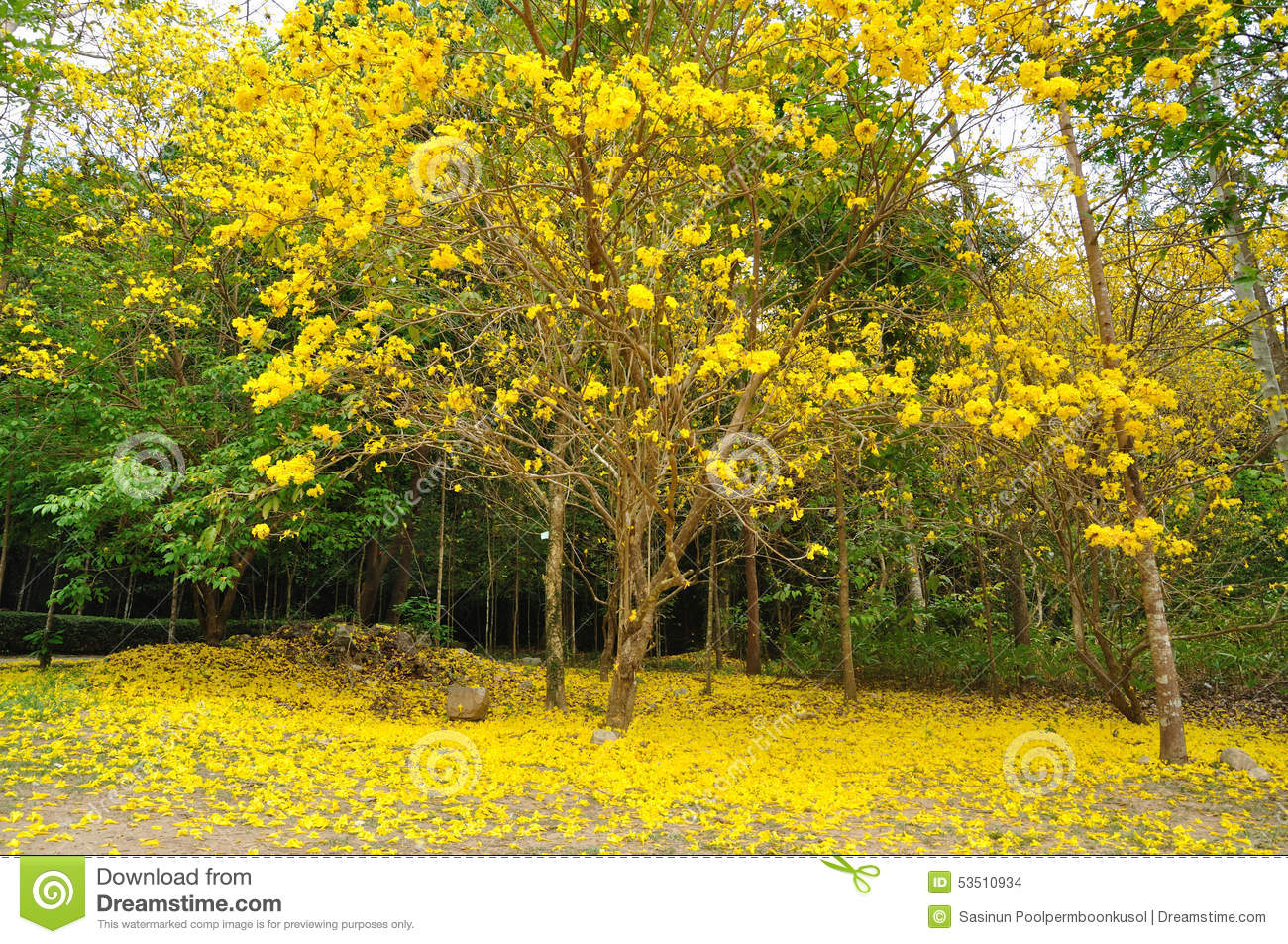 Golden tree stock photo image of yellow chrysantha 53510934 a big golden tree yellow flower mightylinksfo