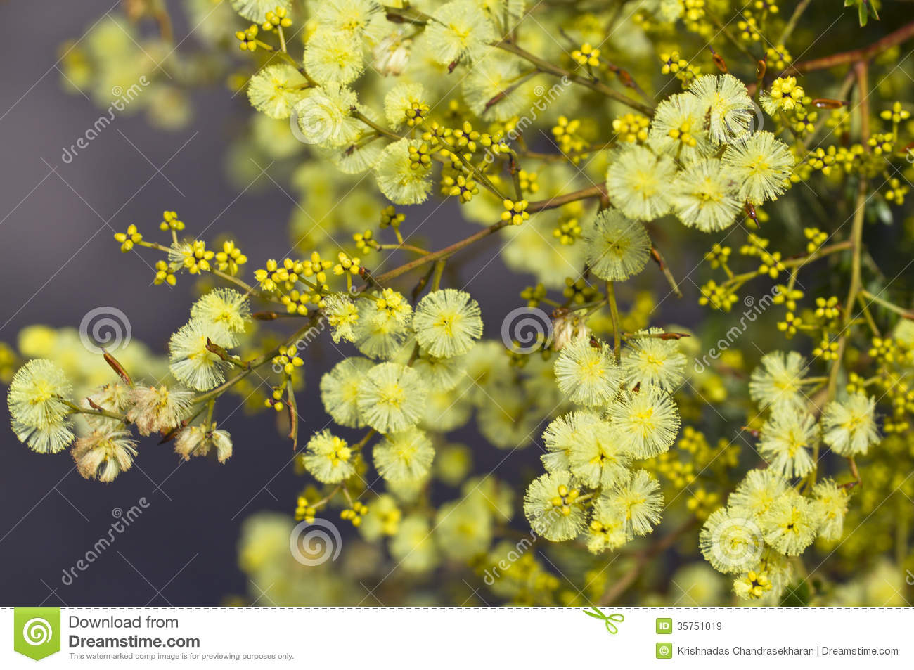 Golden Wattle Royalty Free Stock Image