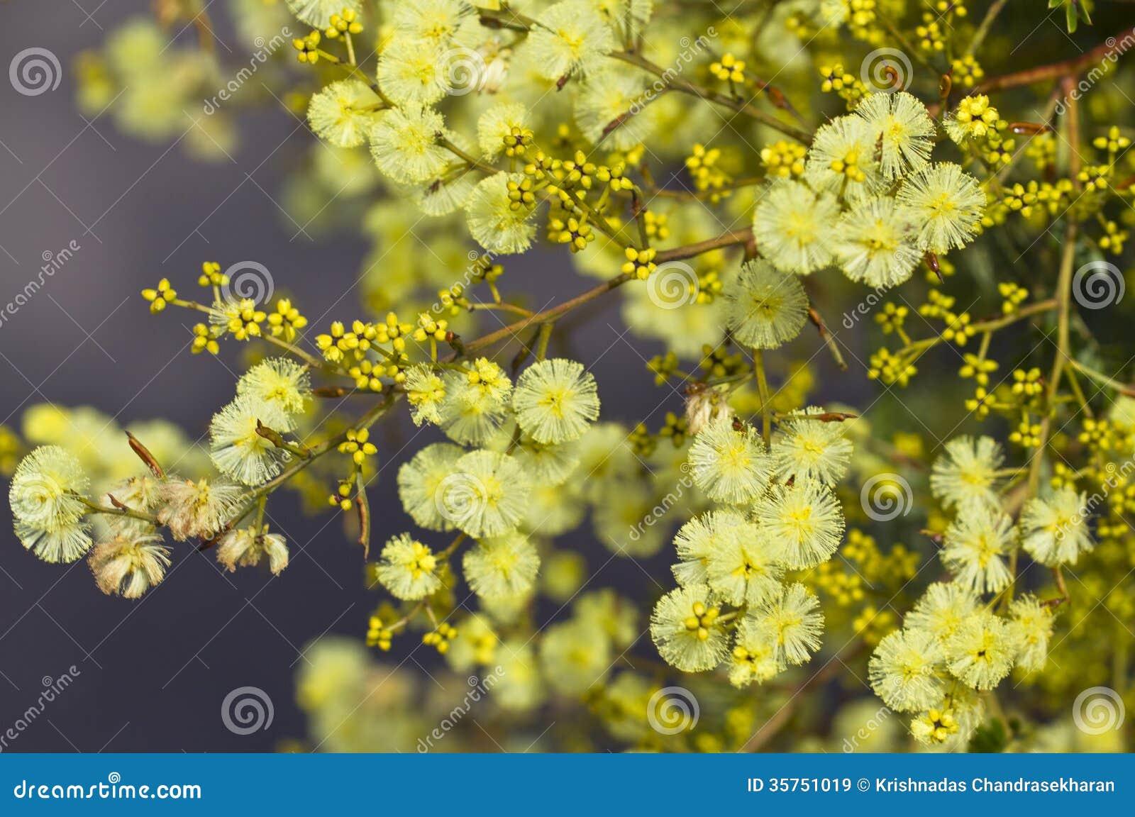 Golden Wattle Stock Image Image Of Fresh Many Fragrant 35751019