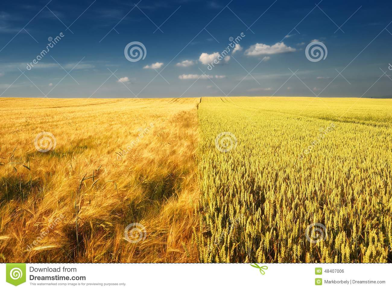 Golden wheat field and cloudy sky