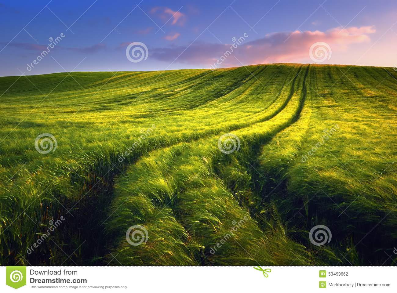 Golden wheat field with path in the sunset time