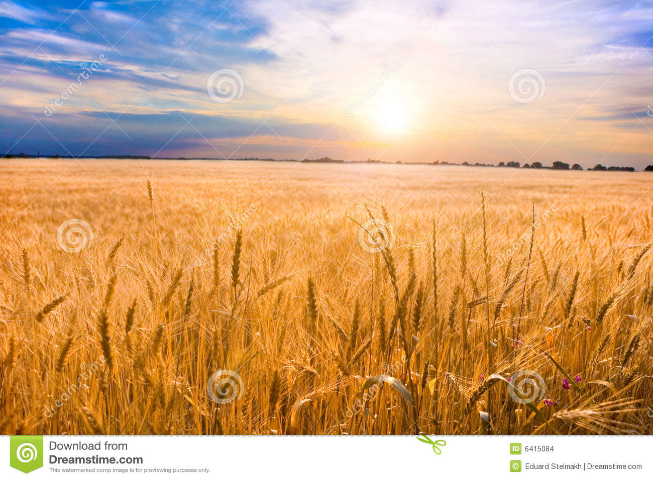 Golden wheat ready for harvest growing in a farm