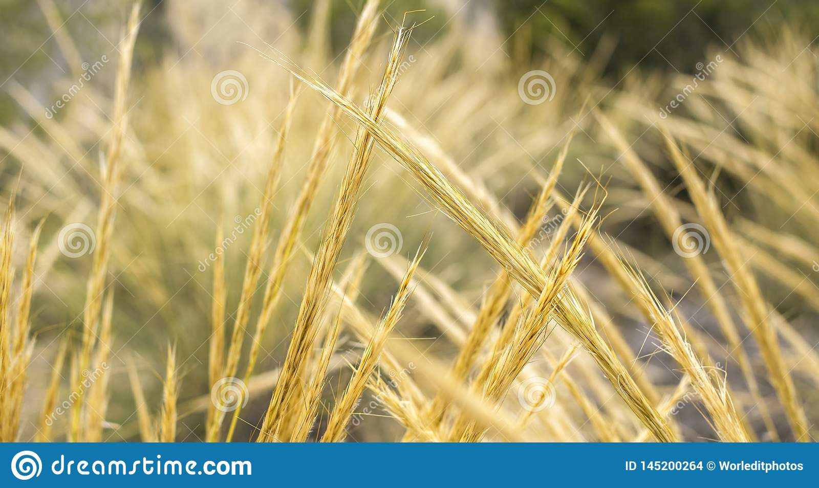 Golden wheat spikes backlit with natural sunlight