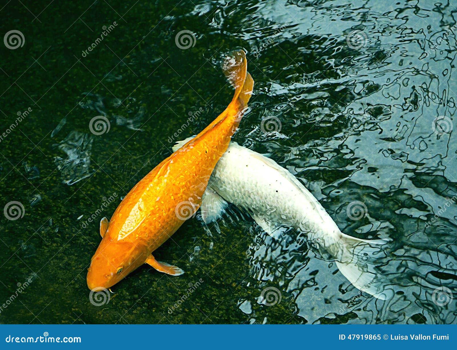 Ornamental pond fish golden 100 images golden comet for Ornamental pond fish uk