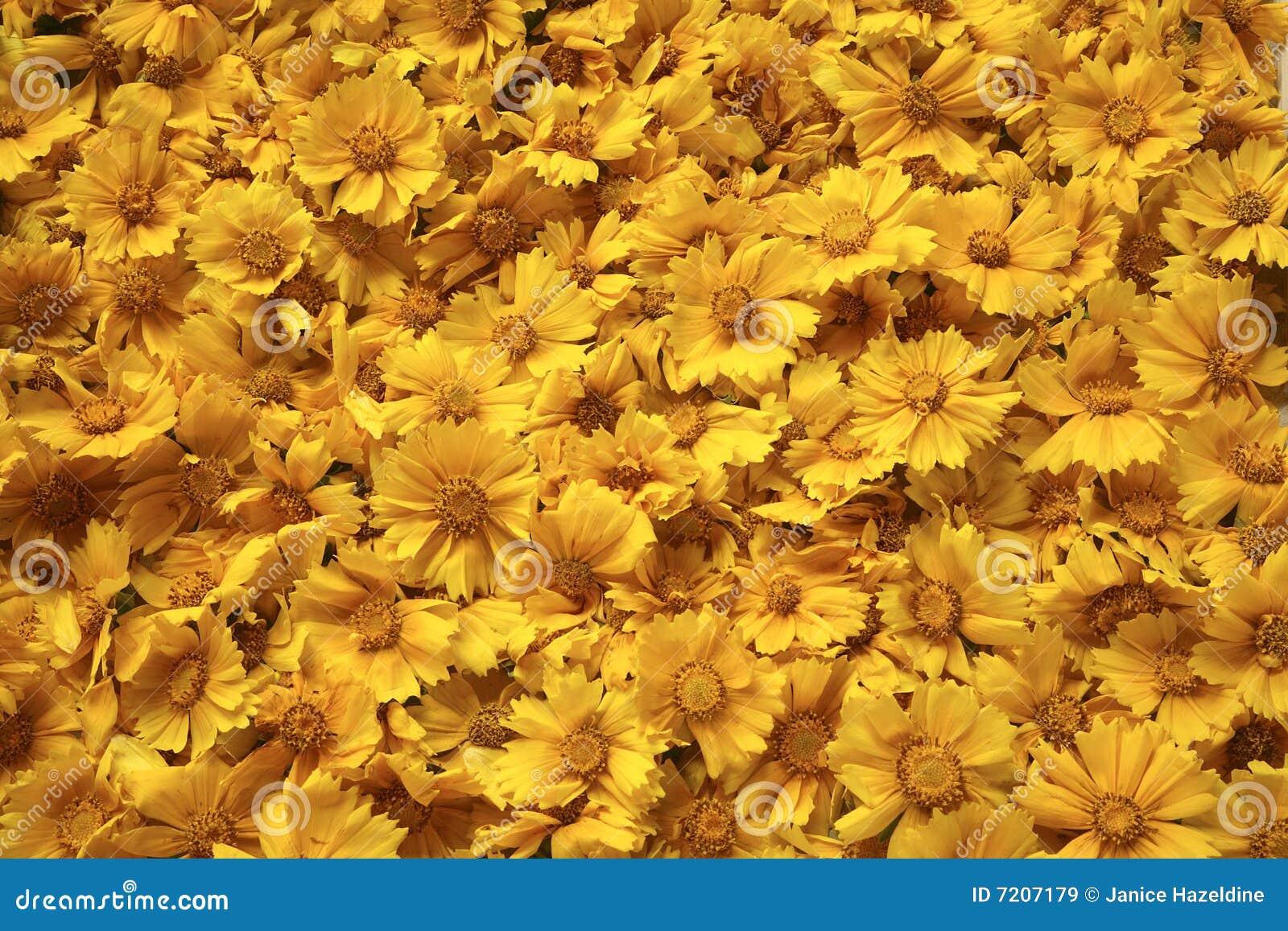Golden yellow flowers background stock image image of tickseed golden yellow flowers background mightylinksfo