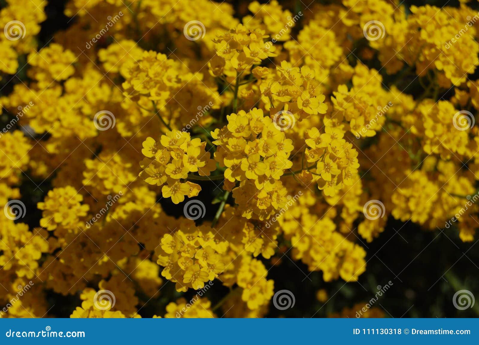 Golden yellow flowers in summer stock photo image of flowers download golden yellow flowers in summer stock photo image of flowers greenery 111130318 mightylinksfo