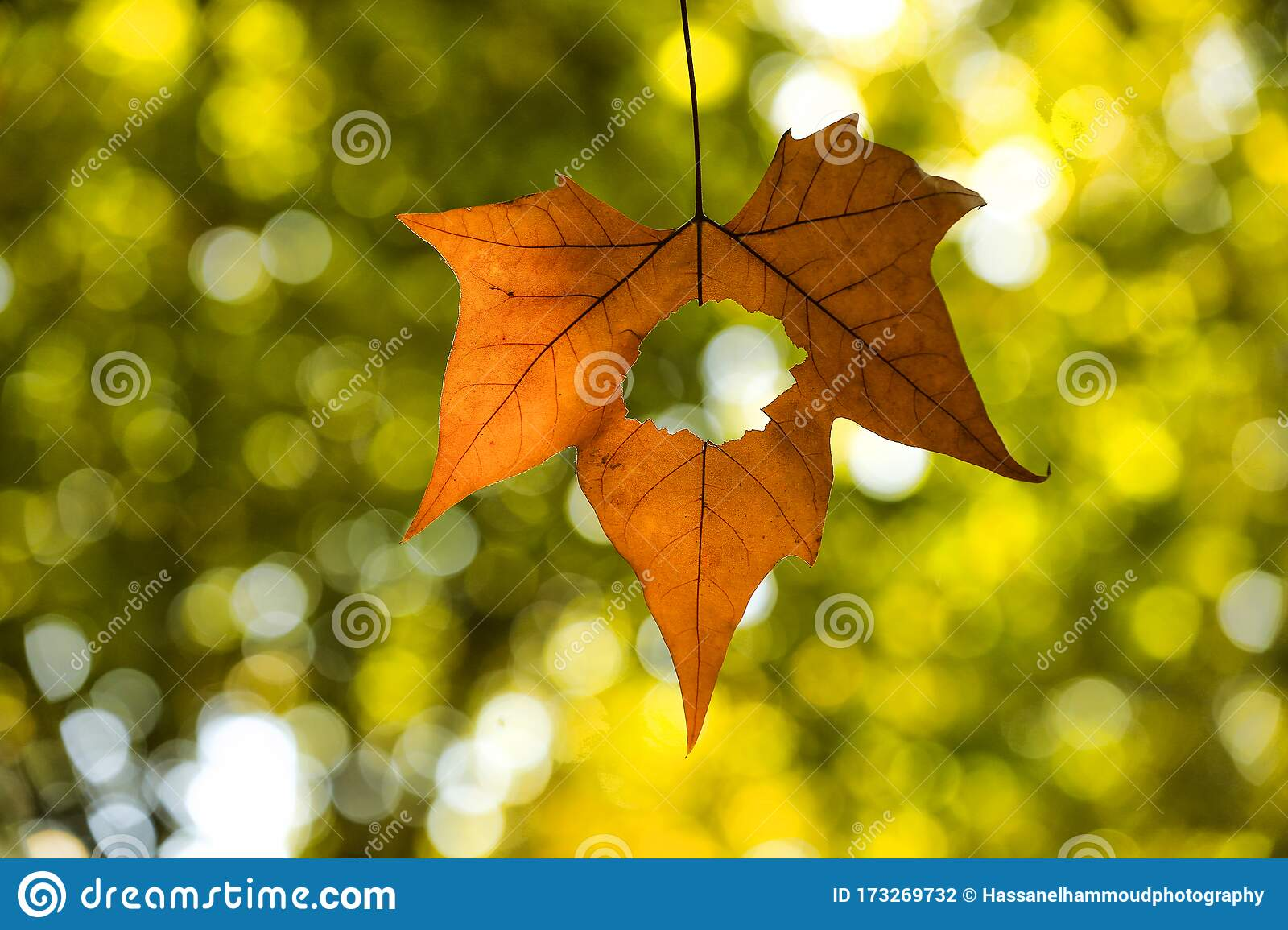A Golden Yellow Maple Leaf In Autumn Season Stock Photo
