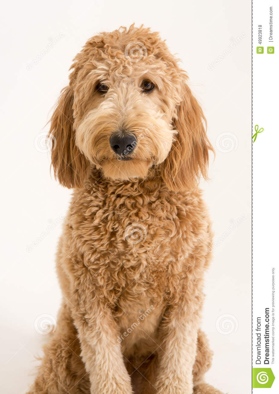 887 Goldendoodle Photos Free Royalty Free Stock Photos From Dreamstime
